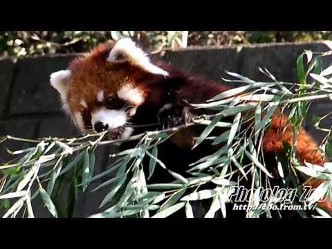 Red Panda 2010 食べきれないほどの笹@野毛山Zoo