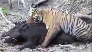 نمر يصطاد خنزير بري كبير