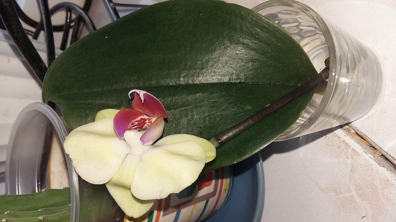 Орхидея почему перестала цвести
