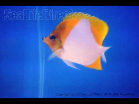 Pyramid Butterflyfish Sale Pyramid Butterflyfish Video