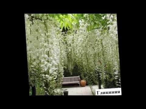 Вьющиеся растения для беседки  Названия и фото