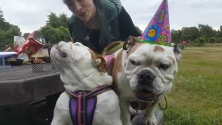Dog Falls Off Bench During Birthday Song - Funny Dog Fails !