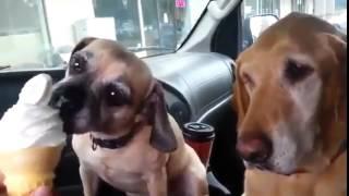 Полный ржач, собака слопала мороженку, лучшие приколы над животными 2014 декабрь Новое!