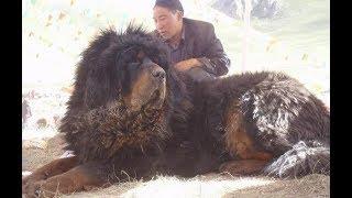 """Chuyện lạ: Chi hàng chục tỷ để mua """"chó lai sư tử"""" khổng lồ"""