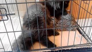 Kucing Persia menyusui kucing Hutan ( Blacan ) / Meong Congkok