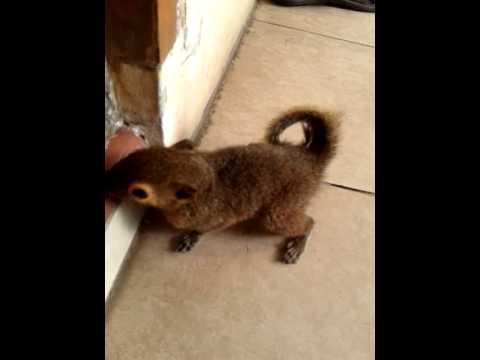 Funny squirrel ( dunki ku) bajing kelapa