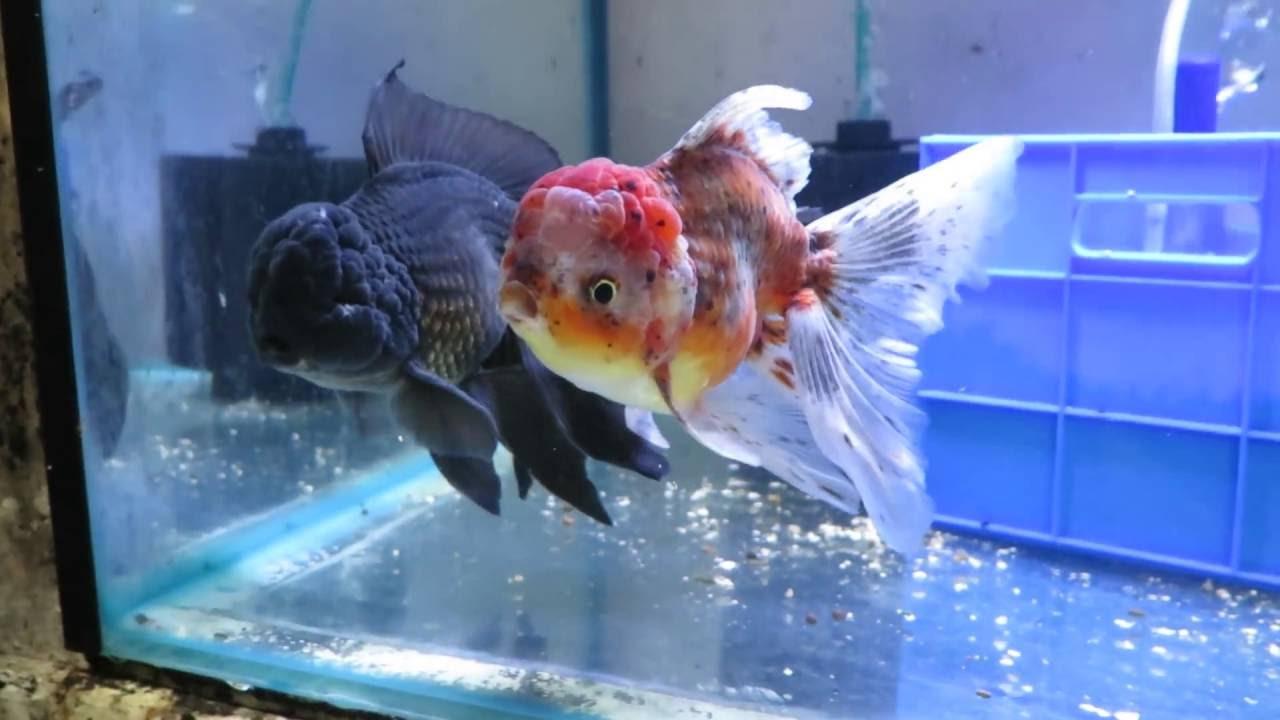 SOLD: XL Calico Oranda & XL Black Oranda Goldfish