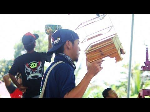 DUNIA BURUNG: Aksi Pleci Palas RAJA TEMBAK Milik Mr. V-K Di Event Tebas Cup 3