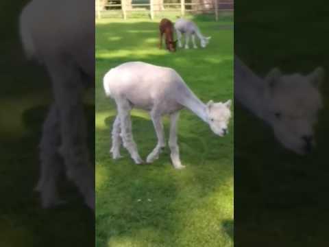 Casual alpaca