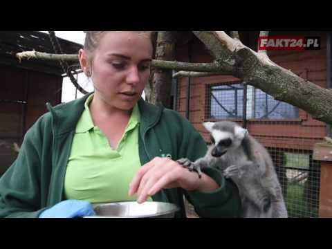Lemury To Ogromne łasuchy. Zobacz Jak Walczą O łakocie
