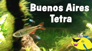 Buenos Aires Tetra Care: Freshwater Fish Profile