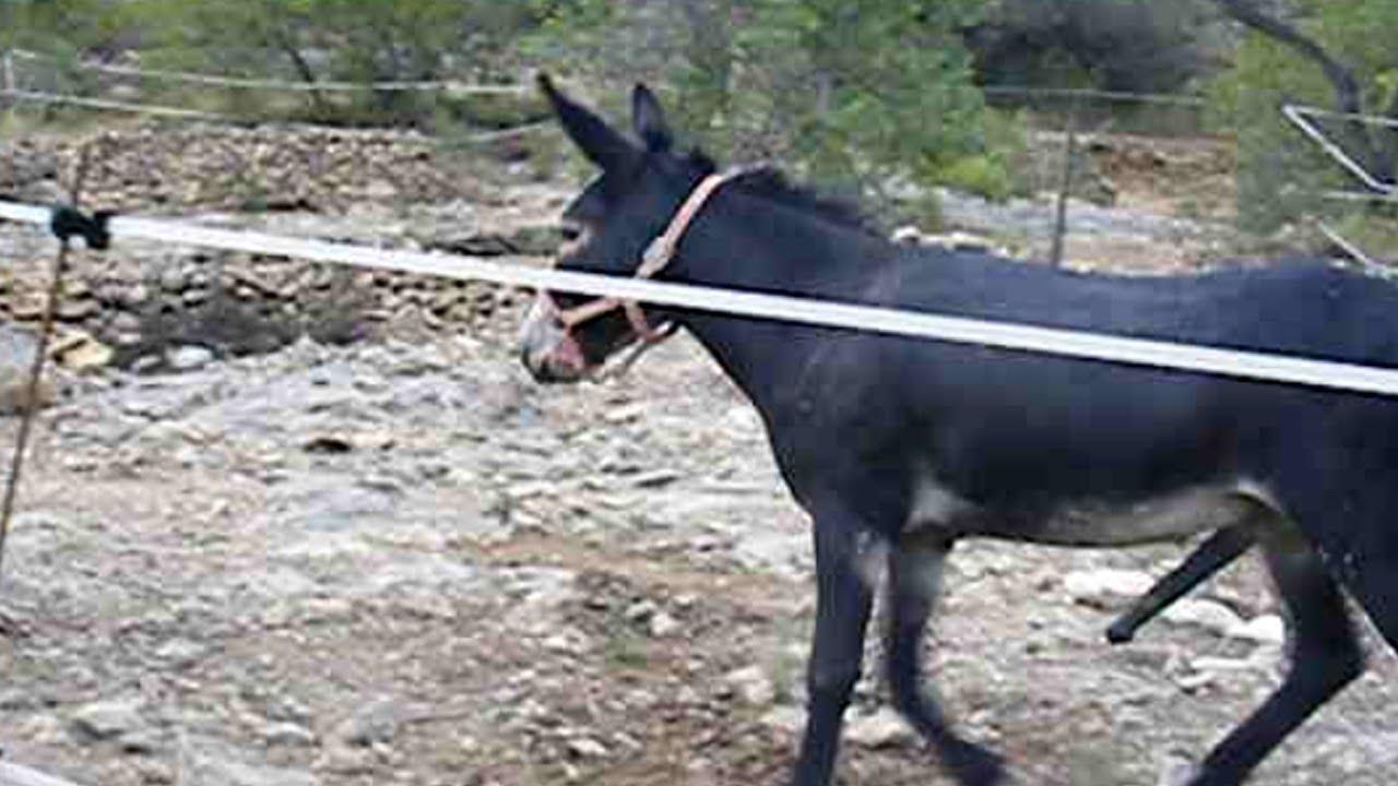 Donkey Mating - Burros Apareándose - YouTube