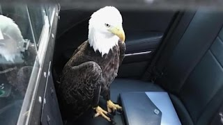 Trooper saves injured bald eagle with a bear hug