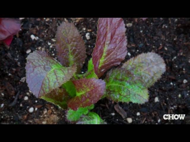 How to Grow Your Own Salad in a Box - CHOW Tip