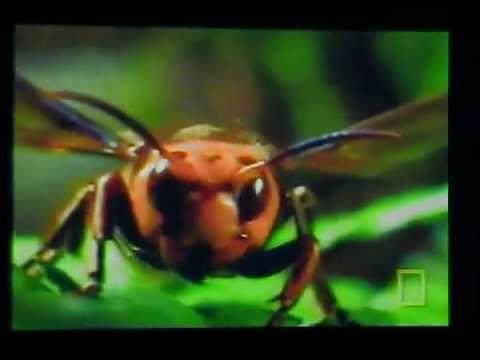 Hornet Vs Praying Mantis Giant Hornet vs  Praying