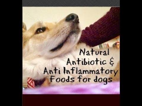 Download Lagu Natural Antibiotic Anti inflammatory foods for dogs.mp3