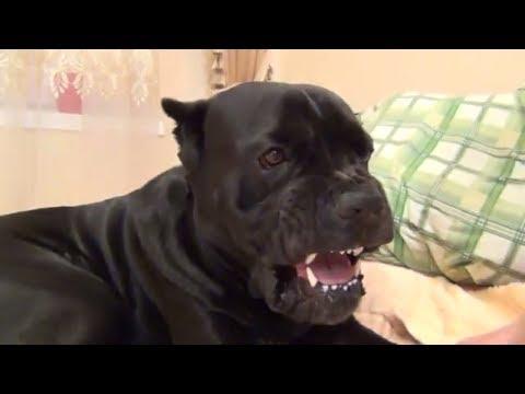 Собака Кане Корсо идет спать и ему не нравится, что его разбудили. #canecorso