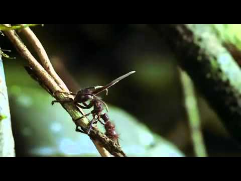 Cordyceps Fungus - The mind-control Killer-Fungi.mp4