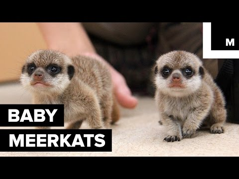 Super Cute Baby Meerkats Explore the Outside World for First Time