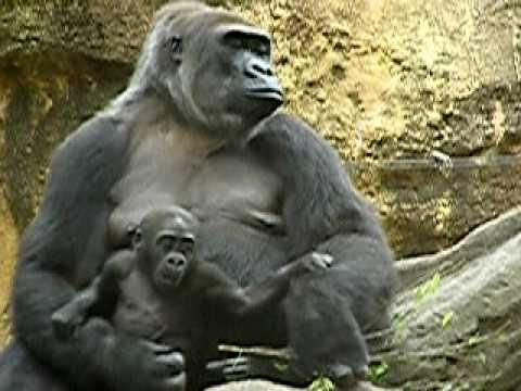 上野動物園のニシローランドゴリラの親子-35