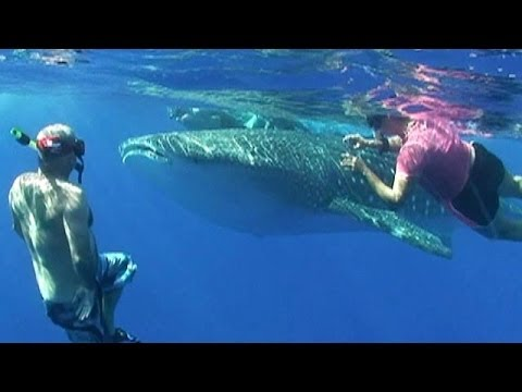 Giant whale shark surprises tourists in Hawaii