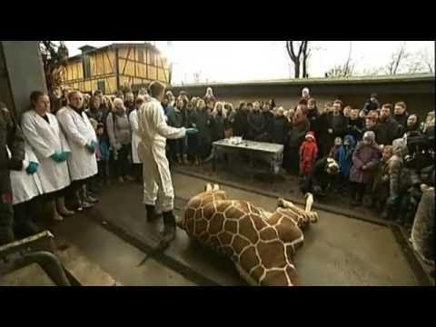 Giraffe killed in Copenhagen Zoo (Farvel Marius)