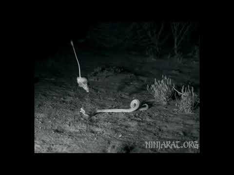 Kangaroo rat dodges rattlesnake strike