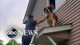 180-pound Saint Bernard rescued from rooftop