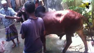 পুরান ঢাকার পাগলা গরু কোরবানি