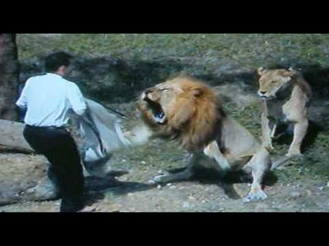 Fatal Lion Attack!
