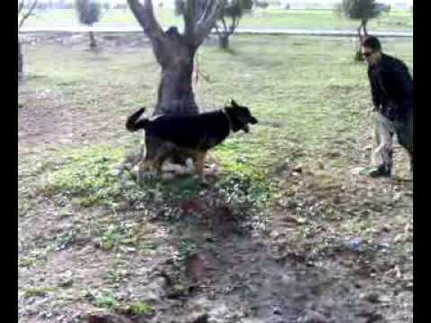 chien berger allemands debut de dressage pour l'attaque