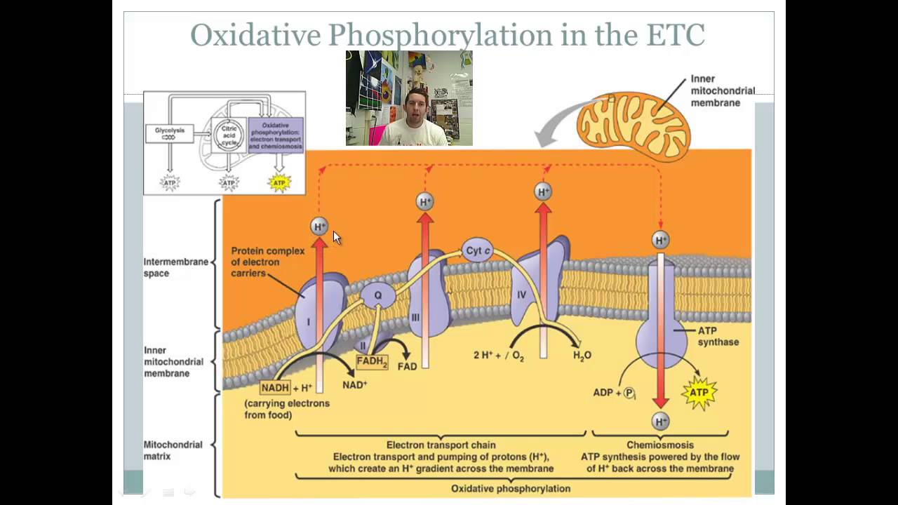 Watch furthermore Bmr Of Metabolism additionally Photosynthesis Review 27669473 also Atp Photosynthesis And Cellular Respiration moreover Research. on diagram of electron transport chain