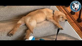 Best Of Cute Golden Retriever Puppies Compilation - Funny Dogs 2018