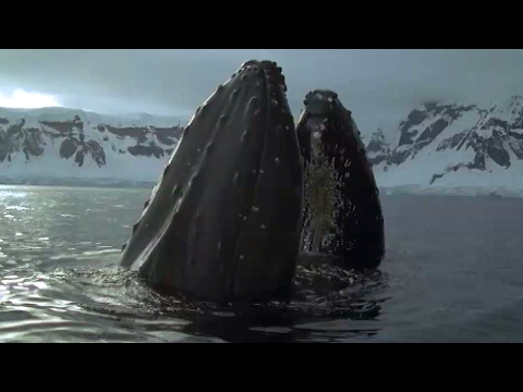 Whales And Seals Feast On Krill - Blue Planet - BBC Earth