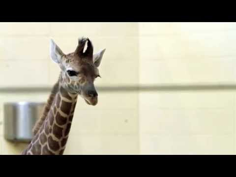 Baby Giraffe at The Henry Doorley Zoo