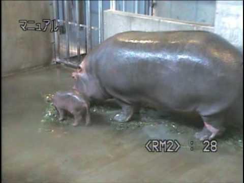 王子動物園にカバの赤ちゃん誕生! (音声なし)