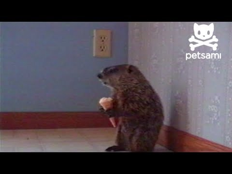 Just a woodchuck eating an ice cream cone
