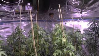 Growing marijuana trees, auto flower update week 7