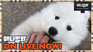 During The Shoot, Turn On A Live Broadcast To Share Samoyed Cuties!