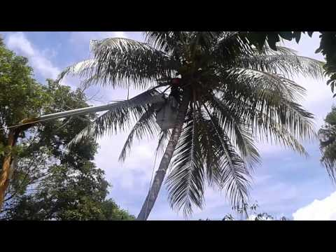 A Caring Tree Company Taking Down A Coconut Palm Tree.
