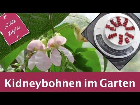 Kidneybohnen im Garten I Erstaunliche Erfahrungen, Experimente und Ernte