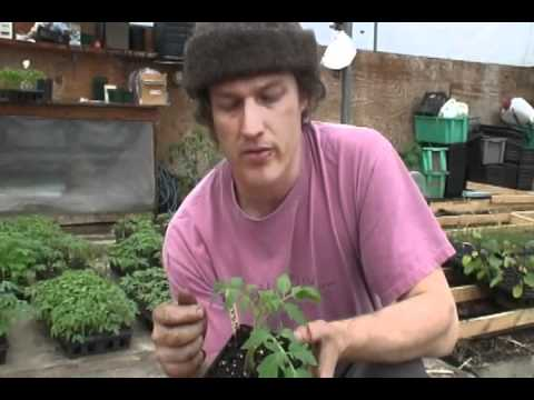 How to Graft Greenhouse Tomatoes