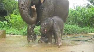 A three week old baby elephant exploring his territory (Nong 'Phil strikes out)