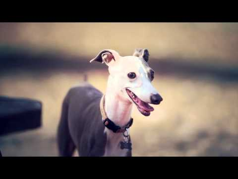 Italian Greyhound With a Curious Personality   The Daily Puppy