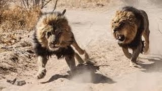 """THE KILLER ATTACK"" - WILD LIONS IN ACTION - LIONS DOCUMENTARY"
