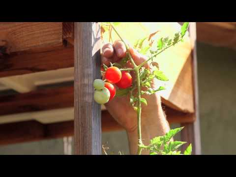 How To Hold Up Hydroponic Tomatoes   Hydroponic Gardening