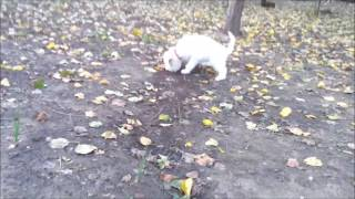 3 months old Puppy Lagotto Romagnolo Lea digging for truffles