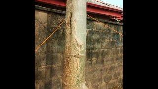 Two maringa trees display ALLAH