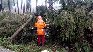 Tree massacre in the forest and Husqvarna 560XP chain saw