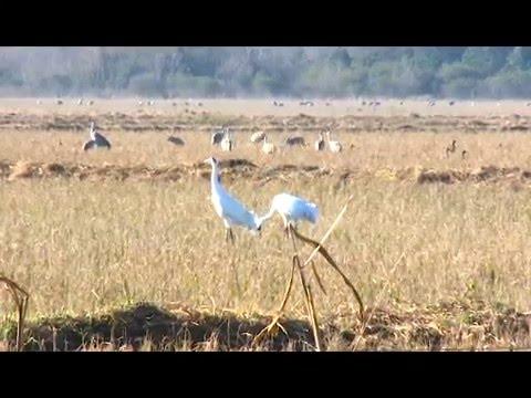 Louisiana Whooping Cranes- Grosse Savanne